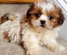 Pin By Julia Forbes On Cuties Pinterest Puppies Shih Tzu And