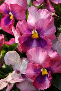 Pink & Purple Pansies | Cynthia Phillips, on Flickr.