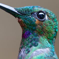 Hummingbird Green-Crowned Brilliant  Heliodoxa Jacula