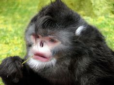 The 'sneezing monkey', Rhinopithecus strykeri, was found by scientists conducting a gibbon survey in the high mountains of Burma. The critically endangered snub-nosed monkey has a distinctive white beard and sneezes when it rains! via telegraph.co.uk Photo by Thomas Geissmann  #Sneezing_Monkey