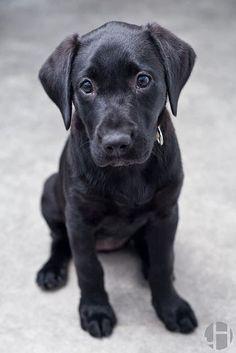 Labrador Retriever..
