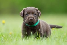 Puppy Vaccinations Schedule, a Complete Guide - dogpackr Best Dogs For Kids, Most Popular Dog Breeds, The Perfect Dog, Purebred Dogs, Service Dogs, Labrador Retriever, Labrador Puppies, Retriever Puppies, Labrador Retrievers