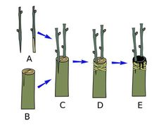 A versatile graft of simple cuts, the side-veneer works on small plants, even evergreens like dwarf conifers. Grafting Fruit Trees, Grafting Plants, Air Layering, Grape Plant, Growing Grapes, Planting Vegetables, Small Plants, Apple Tree, Grape Vines