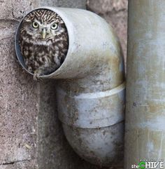Check out where this Burrowing Owl has found a place called home!!!