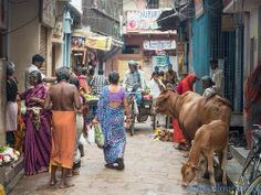Typical street in india where cows share space with pedestrians and pedicabs.