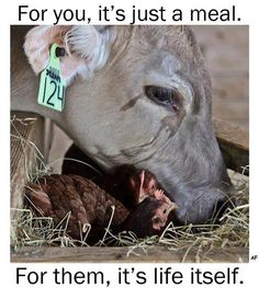 I just want to hug this little cow and give her lots of love! They will NEVER be harmed by me. I refuse to eat the flesh of a living, breathing, emotional animal. I REFUSE.