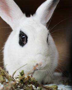 "Stylish Paws on Instagram: ""Just a bunny enjoying her hay 🤍🐰 . . . . . #charlotte  #bunnylove #bunnyrabbit #bunnyears #bunniesofinstagram #bunniesofinsta…"" Beautiful Rabbit, Basset Hound, Rottweiler, Bunny Rabbit, Animal Photography, Kitten, Charlotte, Pets, Stylish"