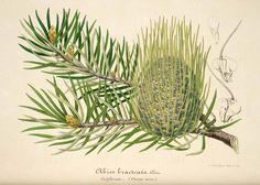 30176 Abies bracteata (D. Don) Poit. / L' Illustration horticole, vol. 1: t. 5 (1854)