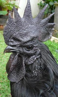Ayam cemani chicken.   All black, dark flesh, black bones, dark organs.   (blood not black though)