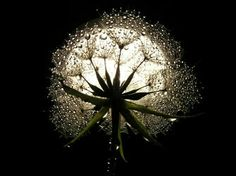 Part What is a Moon Garden? This is the first of a 4 part series on moon gardens. What is a moon garden? A moon garden is a type of garden design meant to be enjoyed in the moonlight. Moon gardens contain white flowers and silvery foliage that seem. Moon Pictures, Pretty Pictures, Full Moon Photos, Virgo Moon, Capricorn, Dandelion Wish, Dandelion Art, Dandelion Seeds, Moon Magic