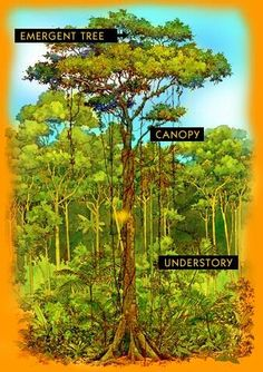 The rainforest school pinterest rainforest song layering and diagram of forest layers fandeluxe Images