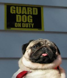 Pug on Guard duty. Be afraid. Be very afraid.