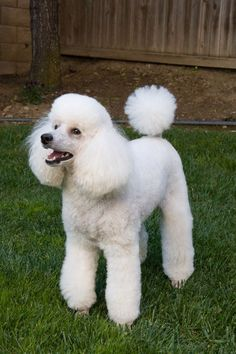 Is Storm too big for a Mini? - Poodle Forum - Standard Poodle, Toy Poodle, Miniature Poodle Forum ALL Poodle owners too! #Poodle