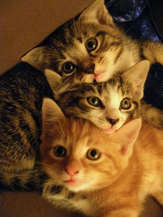 This trio of kittens at the Petsmart on Laburnum were adopted immediately (obviously, I mean look at them)....we get more and more Precious babies every day so come on down!
