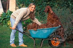 Irish Setter Dogs ...........click here to find out more http://googydog.com