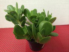 Succulent Plant. Senecio Jacobsenii. This by SucculentBeauties