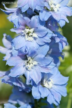 "Delphinium 'Sky Blue White Bee"" All Flowers, Beautiful Flowers, Baby Blue, Light Blue, Blue And White, Delphinium, Lovely Things, Wedding Colors, Nature"