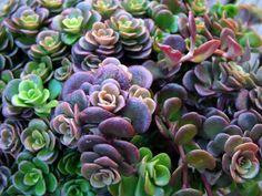 Sedum tetractinum 'Coral Reef'