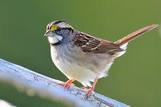 White throated sparrow - my backyard What Is A Bird, Bird Book, Life List, Bird Sculpture, Backyard Birds, Parrots, Sea Creatures, Beautiful Birds, Great Photos