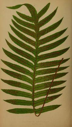v. 2 - Ferns: British and exotic... - Biodiversity Heritage Library