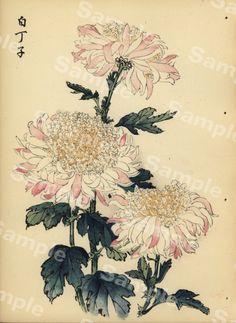 from Art of the Japanese Chrysanthemum Japanese Chrysanthemum, Chrysanthemum Flower, Chrysanthemum Drawing, Vintage Botanical Prints, Antique Prints, Art Floral, Floral Artwork, Plant Illustration, Botanical Illustration
