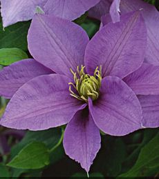 Clematis Cezanne™
