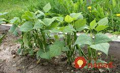 Držte se jich a nebudete litovat! Cenné triky našich babiček pro nejkrásnější květiny a bohatou úrodu!