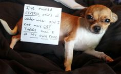 Dog Shaming Chihuahua: I've ruined several pairs of underwear and I eat more cat turds than I do my own food. Funny Animal Pictures, Cute Funny Animals, Funny Cute, Funny Dogs, Dog Pictures, Animal Pics, Funny Chihuahua Pictures, Crazy Funny, Dog Shaming Photos