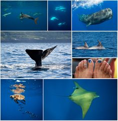 Just returned from the Azores where we had some amazing encounters with the diversity of cetaceans that frequent the waters off the Azores Archipelego. we saw 11 species of whales and dolphins while we were there including some rarely seen cetaceans such as bottlenose whales, beaked whales and large balleen whales like the Sei and Brydes whales. All images taken under a special permit granted by the Regiao Autonoma Dos Acores, Secretaria Regional Do Ambiente E Do Mar, Dreccao Regional do…