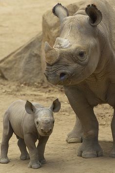 Beautiful creatures!   Rhino calf & mother By Official San Diego Zoo - probably one of the few places where they will be seen if the current trend of rhino poaching in South Africa keeps going on. The rhino will be wiped out in less than 10 years at the current rate!!!!