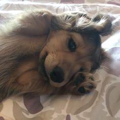 Cute Dachshund Dog