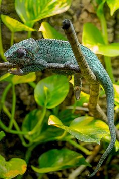 1. Chameleon - I love chameleons! They are such a unique animal and their toes are so cute. This photo was taken by Bent Tranberg.