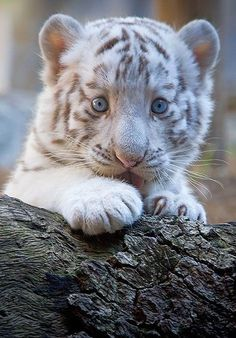 25 Fotos de animales bebés que te derretirán el corazón - Bebé tigre albino sobre un tronco de un árbol Sie sind an der richtigen Stelle für diy home deco - Baby White Tiger, White Tiger Cubs, White Tigers, Baby Blue, White Lions, Rare Animals, Animals And Pets, Funny Animals, Wild Animals