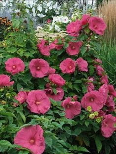 Hibiscus Jazzberry Jam Common Name Rose Mallow Hardiness Zone S W Height Exposure Full Sun Blooms In July Sept Ing Ships As Bareroot