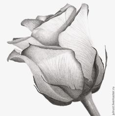 Купить Картина Роза, рисунок розы серый белый графика карандаш - серый, роза