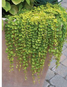 25 Multi Pelleted Seeds Dichondra Emerald Falls Pelleted Seeds