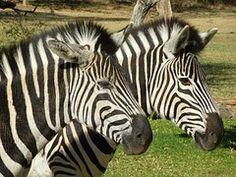 ゼブラ, アフリカ, 縞模様の黒と白