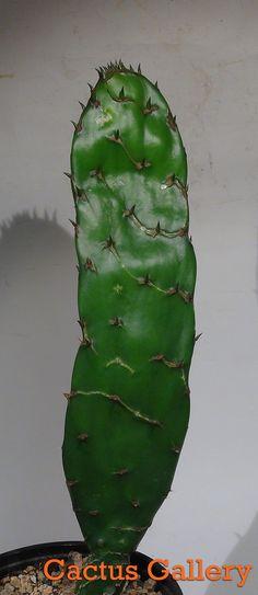opuntia reticulata cobra Fruit Plants, Air Plants, Cactus Plants, Garden Plants, House Plants, Growing Succulents, Cacti And Succulents, Planting Succulents, Succulent Species