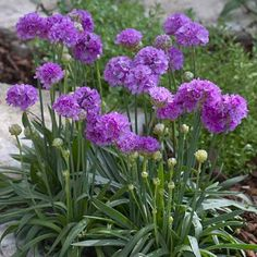 SPECIAL DEAL - Usually 7.95, today just 2.95 - Save £5! This special Armeria has larger, longer-lasting flowers than the more better known Armeria maritima varieties, being a larger more robust plant. Also known as Th