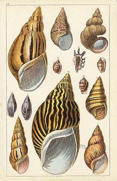 Sea Shells from Animals by Fullarton