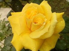 maani maani (maanimaani4545) Photos / 500px Yellow Roses, Nature Photos, Nice, Flowers, Plants, Image, Flora, Plant, Royal Icing Flowers