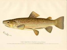 Brown trout fish print, S.F. Denton, 1895