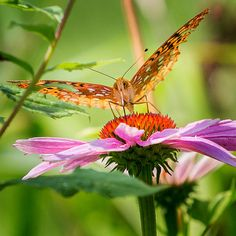 A fritillary butterfly on a cone flower in a summer perennial garden