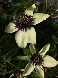 Clematis floriada 'Sieboldiana' www.filroses.com