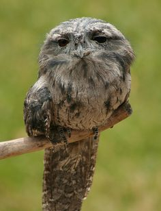 Tawny Frogmouth - a real bird that looks straight out of a Jim Henson movie
