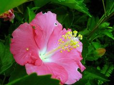 Hibiscus Total 60 Seed (24 Varieties Multicolor Mixed) HIBISCUS ROSA-SINENSIS