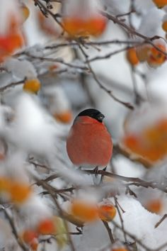 British Wildlife Photography Awards #bwpa saw a few of these fellows this winter #bullfinch