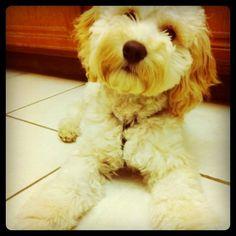 #cockapoo #puppy #dog My cockapoo puppy Lewis