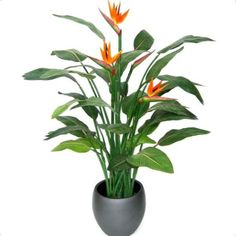 image of bird of paradise plant - Google Search