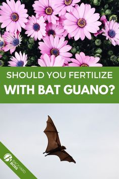 I've been using bat guano fertilizer for almost 20 years. Every time it's exceeded my expectations for fast and organic plant growth. You should try it, and here's our guide on where to get it. Vegetable Gardening, Container Gardening, Organic Plants, Plant Growth, 20 Years, How To Get, Horticulture, Backyard Farming, Vegetables Garden